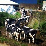 ελάτε σπίτι αγελάδων Στοκ φωτογραφία με δικαίωμα ελεύθερης χρήσης