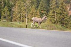Ελάφια άγριας φύσης του Κολοράντο που διασχίζουν το δρόμο Στοκ Φωτογραφίες