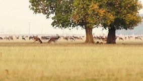 Ελάφια αγραναπαύσεων buck που παλεύουν φιλμ μικρού μήκους