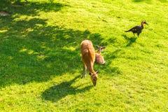 Ελάφια αυγοτάραχων που τρώνε τη φρέσκια χλόη στο λιβάδι Άγρια φύση, ζώα, ζωολογικός κήπος και έννοια θηλαστικών Στοκ εικόνα με δικαίωμα ελεύθερης χρήσης