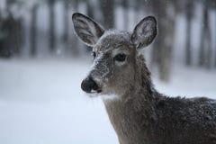 Ελάφια που ακούνε στο ήρεμο χιόνι Στοκ Εικόνες