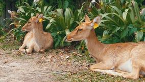 Ελάφια που βρίσκονται στους θάμνους στον ανοικτό ζωολογικό κήπο Khao Kheow Ταϊλάνδη φιλμ μικρού μήκους
