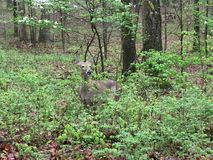 Ελάφια στην ελαφριά δασώδη περιοχή που τρώνε τα φύλλα ως άλλα στάση εδώ κοντά στοκ φωτογραφία με δικαίωμα ελεύθερης χρήσης