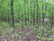 Ελάφια στην ελαφριά δασώδη περιοχή που τρώνε τα φύλλα ως άλλα στάση εδώ κοντά στοκ εικόνα