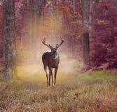 Ελάφια στο δάσος φθινοπώρου Στοκ Φωτογραφία