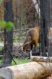 Ελάφια στο εθνικό πάρκο Yellowstone Στοκ Εικόνες