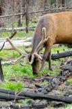 Ελάφια στο εθνικό πάρκο Yellowstone Στοκ Φωτογραφίες