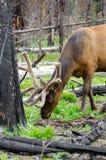 Ελάφια στο εθνικό πάρκο Yellowstone Στοκ φωτογραφία με δικαίωμα ελεύθερης χρήσης
