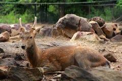 Ελάφια στο ζωολογικό κήπο Στοκ φωτογραφία με δικαίωμα ελεύθερης χρήσης