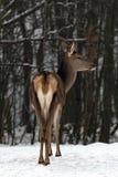 Ελάφια στο χειμερινό δάσος Στοκ Φωτογραφία