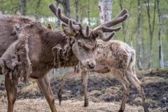 Ελάφια Στοκ φωτογραφίες με δικαίωμα ελεύθερης χρήσης