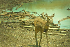 ελάφια bambi Στοκ Φωτογραφίες
