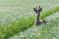 Ελάφια Buck αυγοτάραχων στον τομέα σίτου Άγρια φύση ελαφιών αυγοτάραχων Στοκ Φωτογραφία
