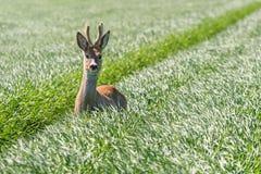 Ελάφια Buck αυγοτάραχων στον τομέα σίτου Άγρια φύση ελαφιών αυγοτάραχων Στοκ εικόνα με δικαίωμα ελεύθερης χρήσης