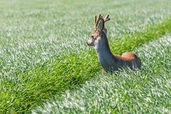 Ελάφια Buck αυγοτάραχων στον τομέα σίτου Άγρια φύση ελαφιών αυγοτάραχων Στοκ Εικόνα