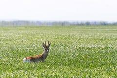 Ελάφια Buck αυγοτάραχων στον τομέα σίτου Άγρια φύση ελαφιών αυγοτάραχων Στοκ φωτογραφία με δικαίωμα ελεύθερης χρήσης