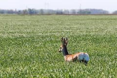 Ελάφια Buck αυγοτάραχων στον τομέα σίτου Άγρια φύση ελαφιών αυγοτάραχων Στοκ εικόνες με δικαίωμα ελεύθερης χρήσης