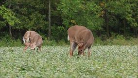 Ελάφια Bucks Whitetail με τα ελαφόκερες βελούδου που ταΐζουν στον τομέα φασολιών απόθεμα βίντεο