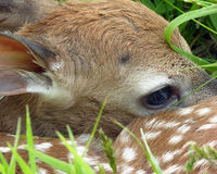 ελάφια fawn whitetail Στοκ Εικόνα