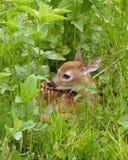 ελάφια fawn whitetail Στοκ Εικόνες