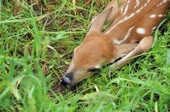 ελάφια fawn whitetail Στοκ φωτογραφίες με δικαίωμα ελεύθερης χρήσης