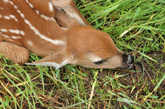 ελάφια fawn whitetail Στοκ εικόνες με δικαίωμα ελεύθερης χρήσης