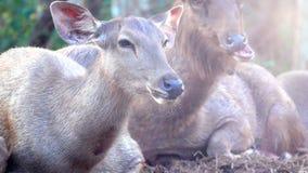 Ελάφια Sambar ή unicolor ύπνος Rusa στο έδαφος στο βουνό απόθεμα βίντεο