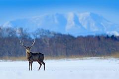 Ελάφια sika του Hokkaido, nippon yesoensis Cervus, στο χιονώδη λιβάδι, χειμερινά τα βουνά και το δάσος στο υπόβαθρο, ζώο με στοκ εικόνες