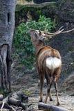Ελάφια Sika Ezo στοκ εικόνα με δικαίωμα ελεύθερης χρήσης