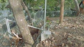 Ελάφια Viewf στον ανοικτό ζωολογικό κήπο Khao Kheow απόθεμα βίντεο