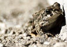 Ελάχιστα λυπημένος και ντροπαλός βάτραχος στοκ φωτογραφία