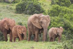 ελέφαντας αγελάδων Στοκ Εικόνες