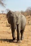 ελέφαντας απομονωμένος Στοκ Φωτογραφία