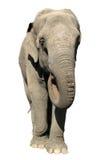 Ελέφαντας Ασιάτης Στοκ Φωτογραφία