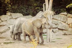 Ελέφαντας ζωολογικών κήπων με ένα ελεφαντόδοντο στοκ εικόνες