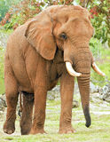 ελέφαντας λασπώδης στοκ εικόνες