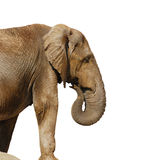 ελέφαντας μεγάλος Στοκ Εικόνες