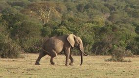 Ελέφαντας με το σπασμένο πόδι φιλμ μικρού μήκους