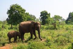 Ελέφαντας μητέρων και μωρών στο εθνικό πάρκο udawalawe, Σρι Λάνκα στοκ εικόνες