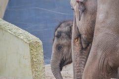 Ελέφαντας μητέρων και μωρών στο ζωολογικό κήπο Άμστερνταμ Artis οι Κάτω Χώρες Στοκ εικόνα με δικαίωμα ελεύθερης χρήσης