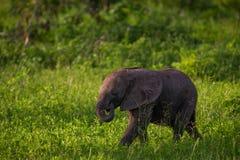 Ελέφαντας μωρών νότιου Luangwa Στοκ Φωτογραφία