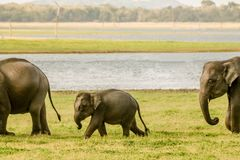 Ελέφαντας μωρών που περπατά με τη φρουρά στοκ εικόνα