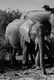 Ελέφαντας μωρών στο εθνικό πάρκο addo στοκ εικόνες