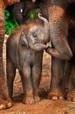 ελέφαντας μωρών Στοκ Φωτογραφίες
