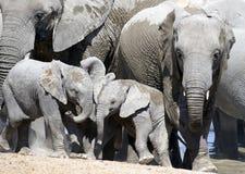 ελέφαντας μόσχων Στοκ Εικόνες