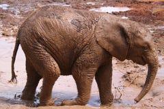 ελέφαντας μόσχων Στοκ εικόνα με δικαίωμα ελεύθερης χρήσης