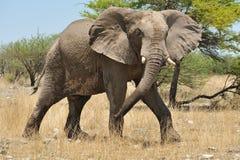 ελέφαντας Ναμίμπια Στοκ Εικόνες