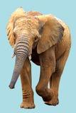 ελέφαντας που απομονώνεται αφρικανικός Στοκ φωτογραφία με δικαίωμα ελεύθερης χρήσης