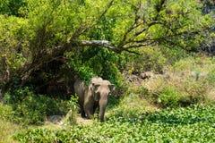 Ελέφαντας που ζει στην πράσινη ζούγκλα σε Tay Nguyen, κεντρικές ορεινές περιοχές του Βιετνάμ Στοκ φωτογραφία με δικαίωμα ελεύθερης χρήσης
