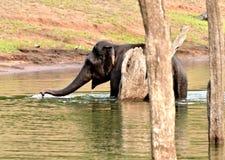 Ελέφαντας που κολυμπά σε ένα πράσινο δάσος Στοκ εικόνα με δικαίωμα ελεύθερης χρήσης